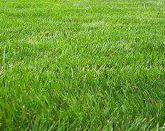 Rye Sod Grass