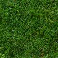 santa ana sod grass close up
